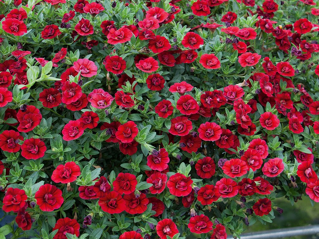 Calibrachoa MF Neo Double DarkRed