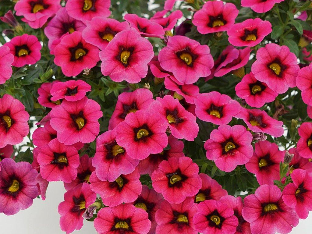 Calibrachoa MiniFamous Neo PinkDarkPunch