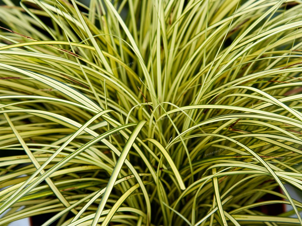 Carex Jenneke