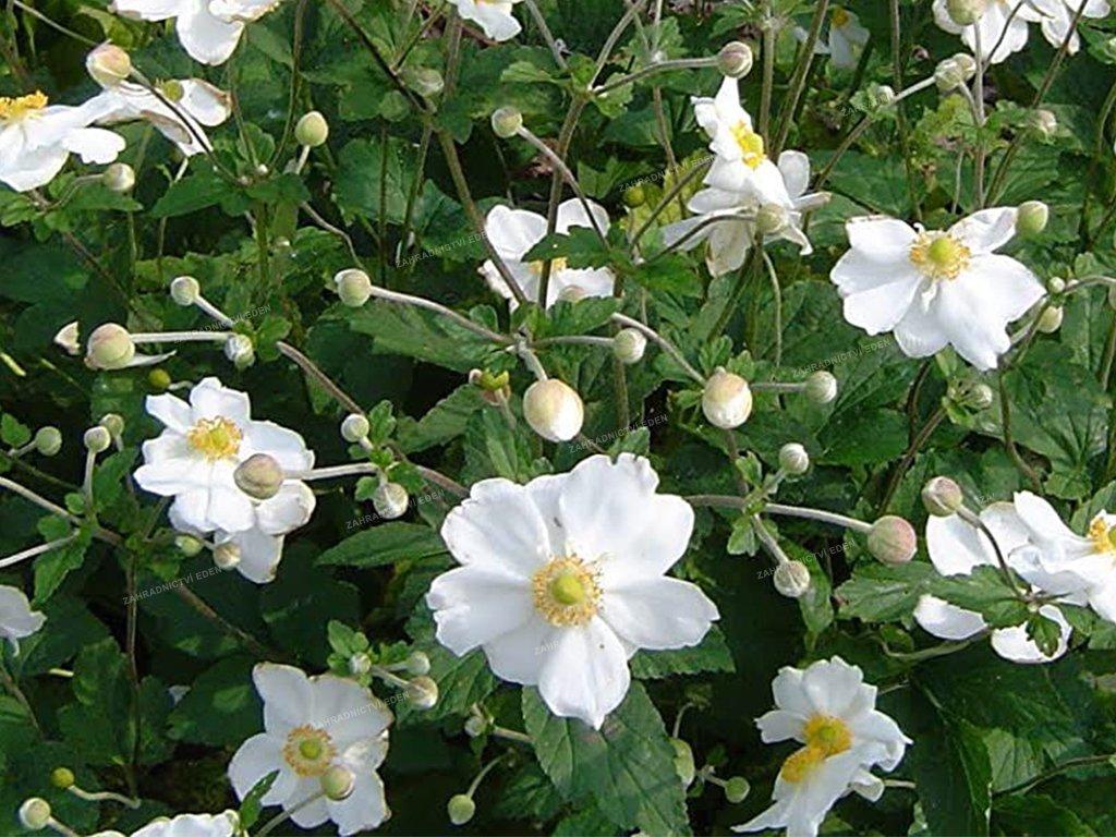 Sasanka 'Honorine Jobert'   Anemone hybrida 'Honorine Jobert'