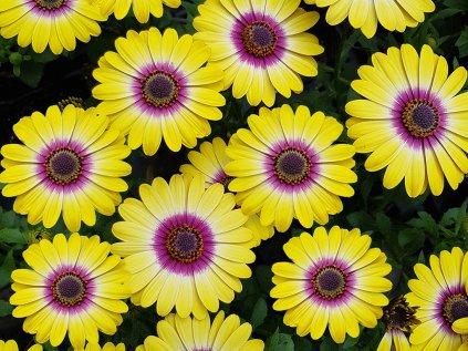Osteospermum FlowerPower TropicSun