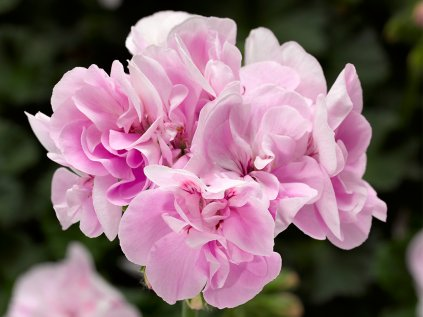 Pelargonium CalliopeM Light Lavander