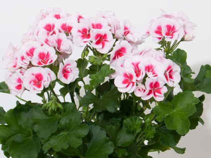 Pelargonium SmokeyEye White