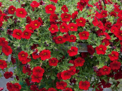 Calibrachoa MF Neo Firestorm