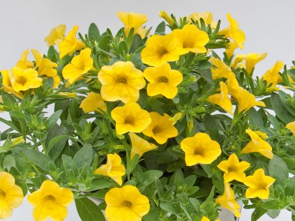 Calibrachoa MF Neo True yellow