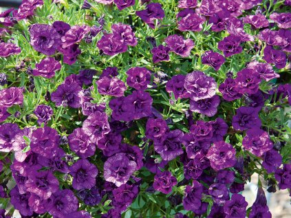 Calibrachoa MiniFamous Uno Double Blue