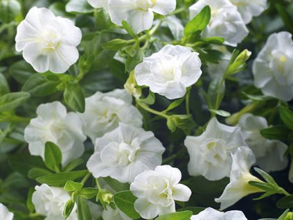Calibrachoa MF Uno Double White