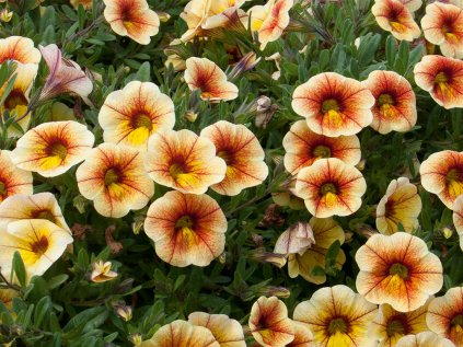 Calibrachoa MF Uno YellowRedVeins