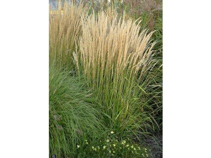 Třtina ostrolistá ' Overdam'   Calamagrostis acutiflora 'Overdam'