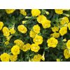 Calibrachoa MF Neo Double Yellow