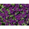 Calibrachoa MF Neo Royal blue