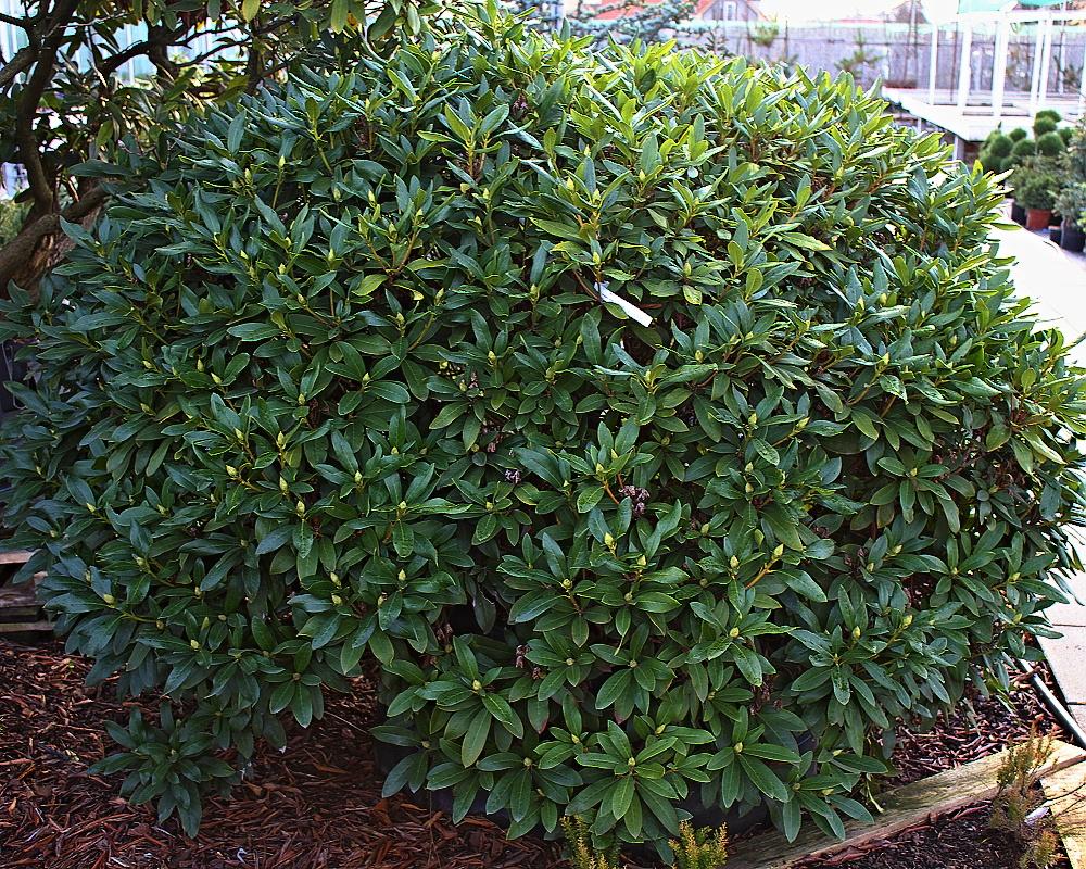 Vzrostlé rododendrony