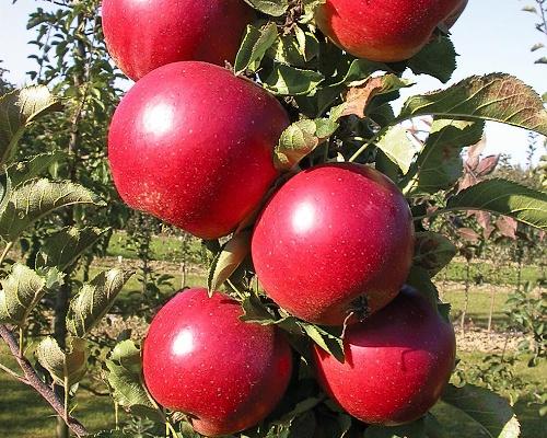Sloupovité a zakrslé ovocné stromy