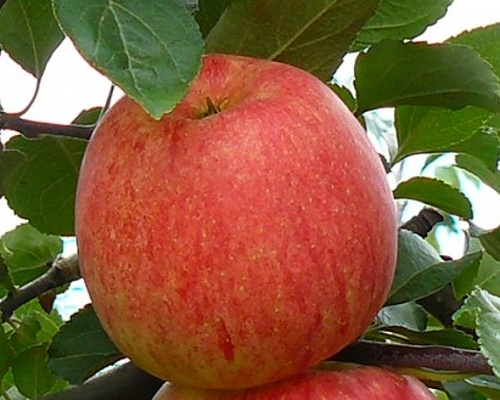 Letní jabloně