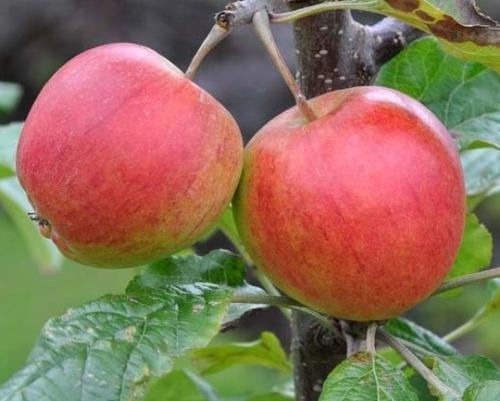 Podzimní jabloně