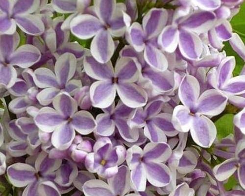 Šeříky - speciální podzimní nabídka