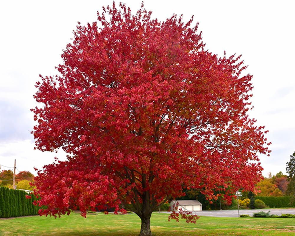 Listnaté vzrostlé stromy a keře