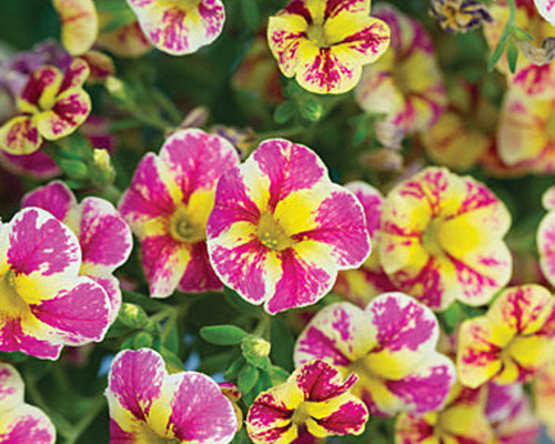 Calibrachoa - Million Bells