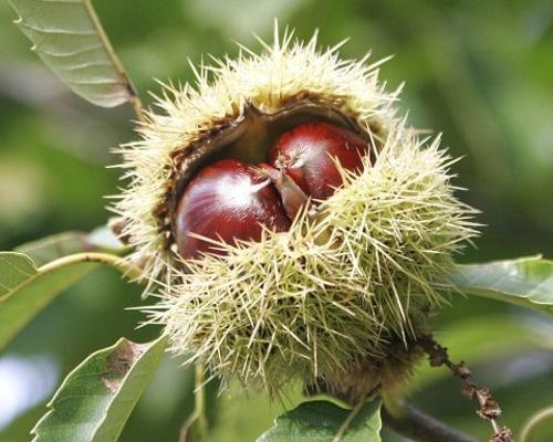 Kaštanovníky - speciální podzimní nabídka