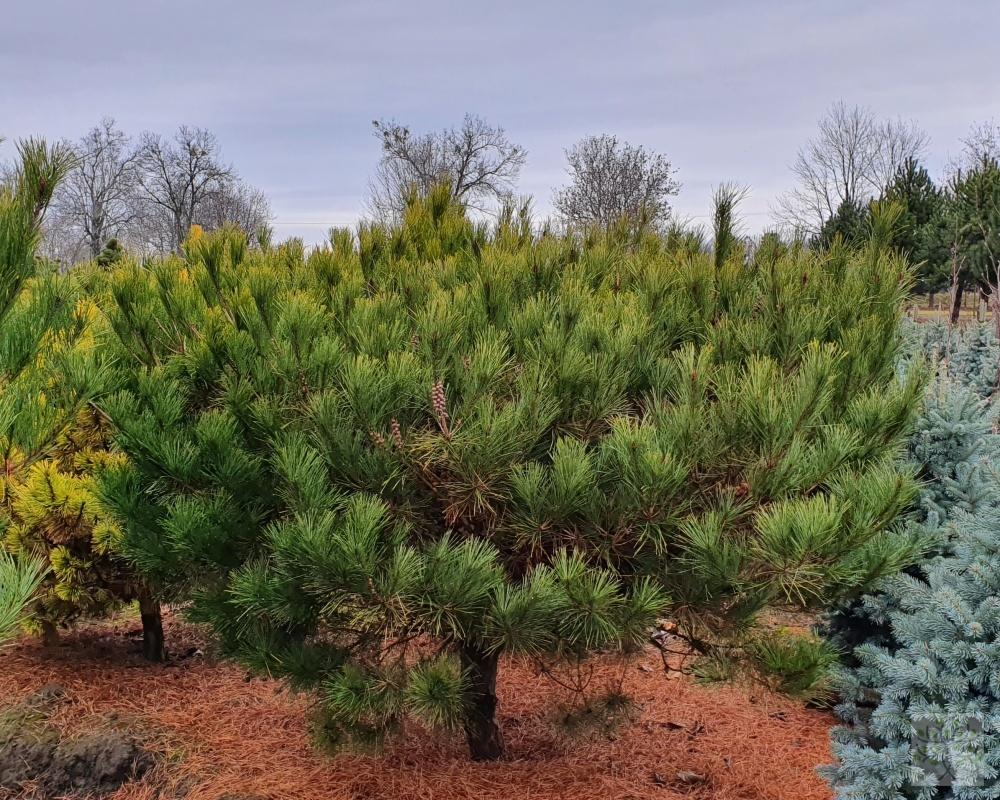Jehličnaté vzrostlé stromy a keře