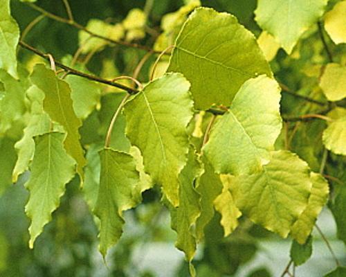 Topoly - speciální podzimní nabídka