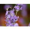 Levandule úzkolistá ´Munstead´ - Lavandula angustifolia 'Munstead'