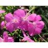 Hvozdík sivý ´La Bour Bille´ - Dianthus gratianopolitanus 'La Bour Bille'
