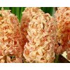Hyacint ´Gipsy Queen´/kontejner