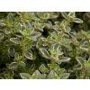 Mateřídouška citrónová ´Silver King P11´ - Thymus x citriodorus 'Silver King'