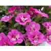 Calibrachoa - Million Bells ´Compact Double Rose´ 3ks