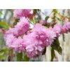 Okrasná višeň ´Kiku-Shidare-Zakura´