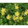 Orlíček velkokvětý ´Spring Magic Yellow´ - Aquilegia caerulea 'Spring Magic Yellow'