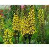 Popelivka ´Gold Torch®´ - Ligularia 'Gold Torch®'