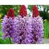 Prvosenka orchideokvětá - Primula vialii