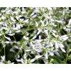 Euphorbia/pryšec třezalkovitá 'Loreen Compact White'