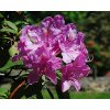 Rododendron ´Catawbiense Boursault´