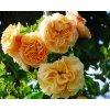 Růže ´Lizzy Starlet Rose´