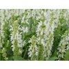 Šalvěj hajní ´Schneehügel´ - Salvia nemorosa 'Schneehügel'