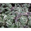 Šalvěj lékařská ´Tricolor´ - Salvia officinalis 'Tricolor'