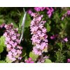 Zběhovec plazivý ´Pink Surprise´ - Ajuga reptans 'Pink Surprise'