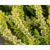 calluna vulgaris agneta (1)