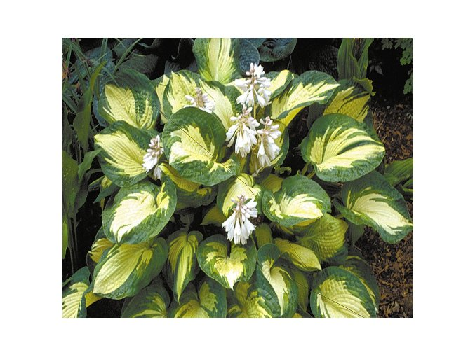 Bohyška ´Great Expectation´ - Hosta 'Great Expectation'