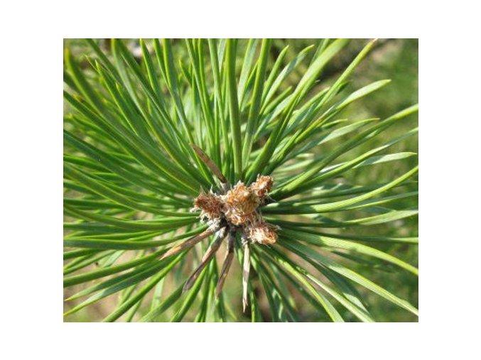 Borovice lesní ´Rotstein´ kmínek