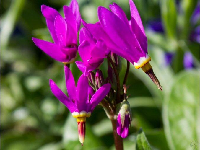 Božskokvět zahradní 'Rote Farbe' - Dodecatheon meadia 'Rote Farbe'