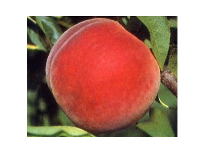 Broskvoň ´Madison´