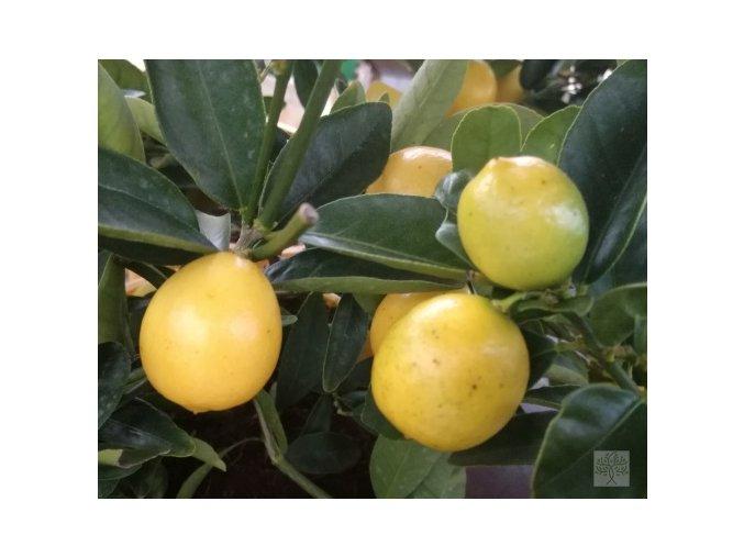citrus lara