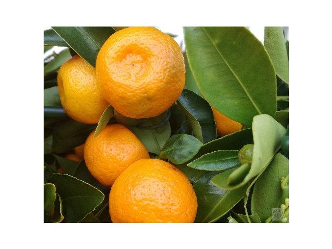 zakrslý pomerančovník Oriana