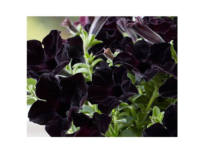 Crazytunia ´Black Mamba´