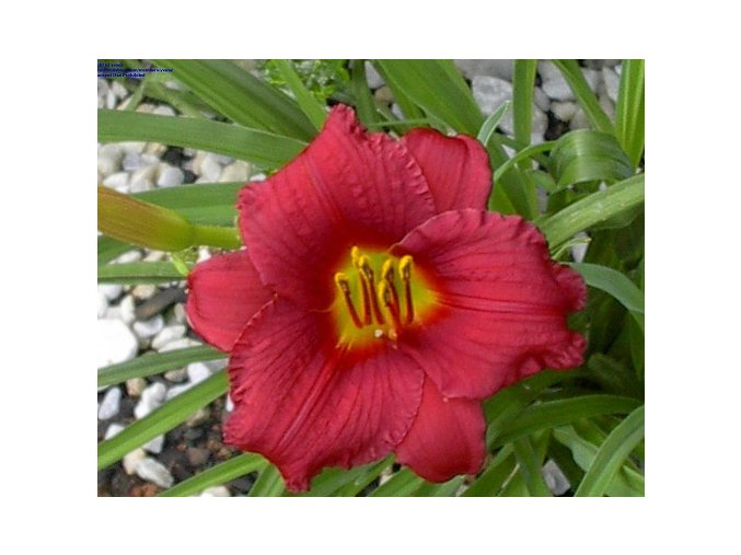 Denivka 'Pardon Me' - Hemerocallis 'Pardon Me'