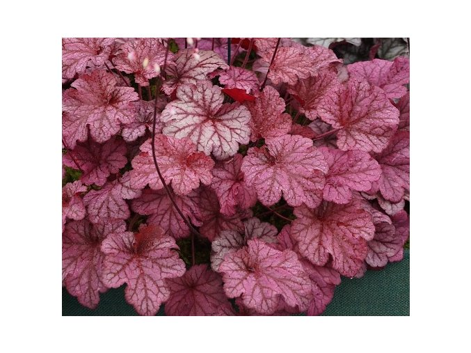 Dlužicha ´Berry Smoothie´ (EU29052) - Heuchera 'Berry Smoothie' (EU29052)